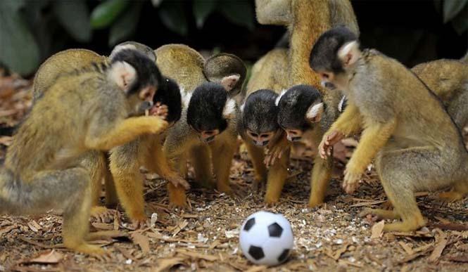 Όταν τα ζώα παίζουν ποδόσφαιρο (3)