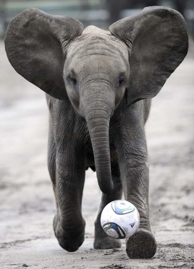 Όταν τα ζώα παίζουν ποδόσφαιρο (4)