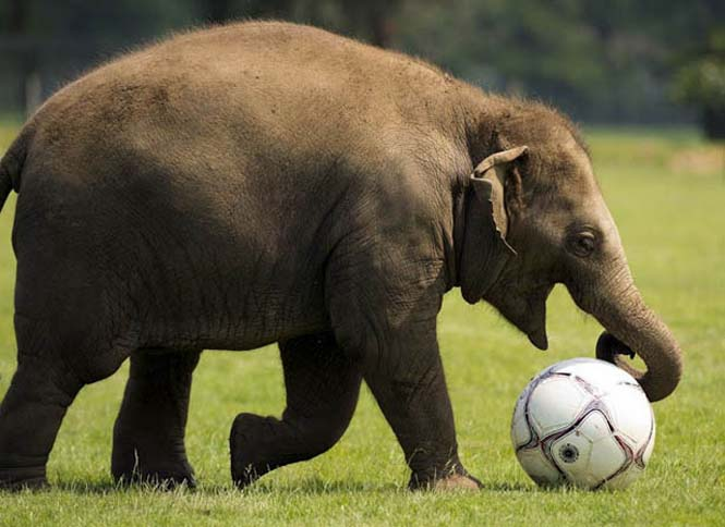 Όταν τα ζώα παίζουν ποδόσφαιρο (8)