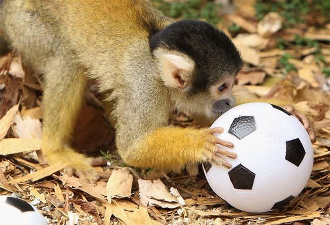Όταν τα ζώα παίζουν ποδόσφαιρο (9)