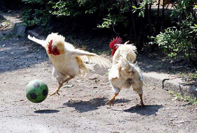 Όταν τα ζώα παίζουν ποδόσφαιρο (11)