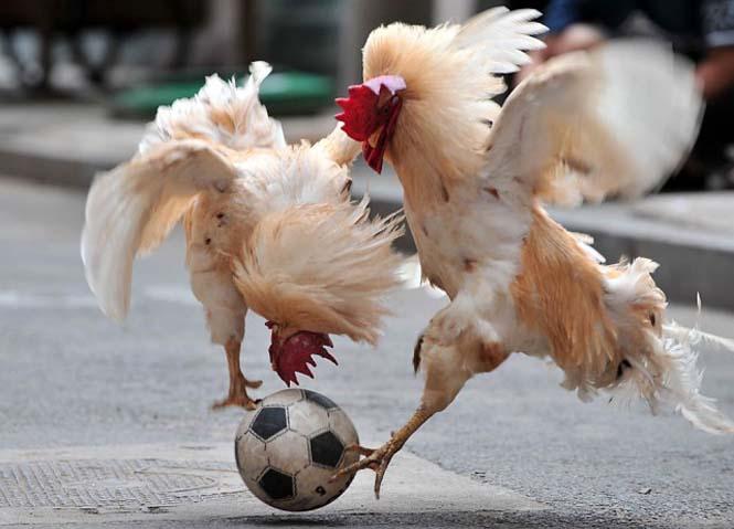 Όταν τα ζώα παίζουν ποδόσφαιρο (12)