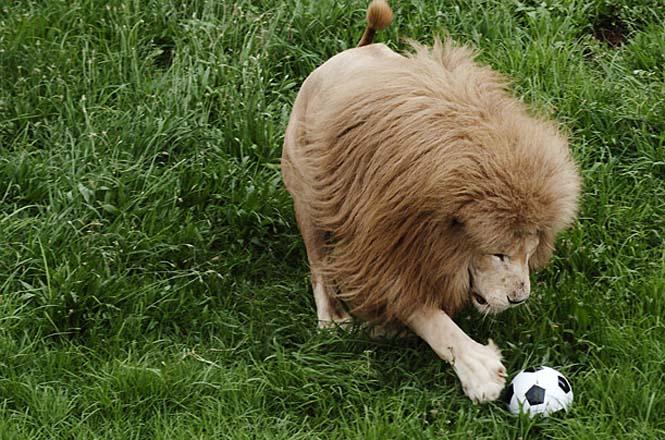 Όταν τα ζώα παίζουν ποδόσφαιρο (13)