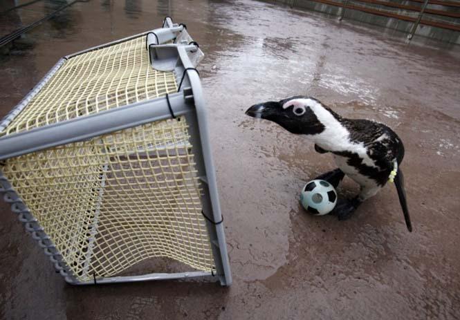 Όταν τα ζώα παίζουν ποδόσφαιρο (18)