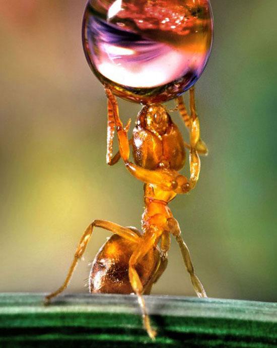 Το μυρμήγκι - Άτλας | Φωτογραφία της ημέρας