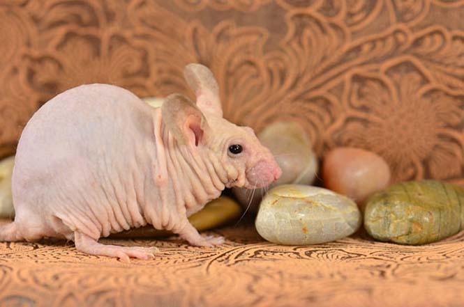 Ζώα που μοιάζουν αγνώριστα χωρίς το τρίχωμα τους (17)