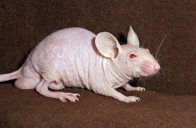 Ζώα που μοιάζουν αγνώριστα χωρίς το τρίχωμα τους (19)