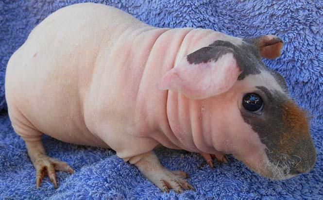 Ζώα που μοιάζουν αγνώριστα χωρίς το τρίχωμα τους (14)
