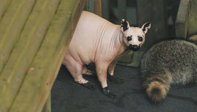 Ζώα που μοιάζουν αγνώριστα χωρίς το τρίχωμα τους (9)