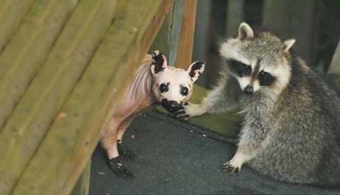 Ζώα που μοιάζουν αγνώριστα χωρίς το τρίχωμα τους (10)