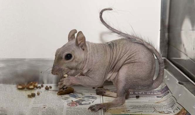 Ζώα που μοιάζουν αγνώριστα χωρίς το τρίχωμα τους (12)