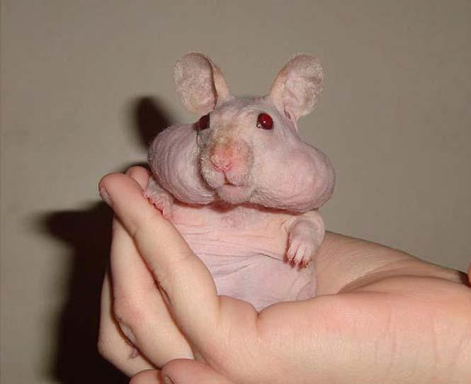 Ζώα που μοιάζουν αγνώριστα χωρίς το τρίχωμα τους (28)