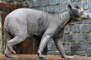 Ζώα που μοιάζουν αγνώριστα χωρίς το τρίχωμα τους (4)