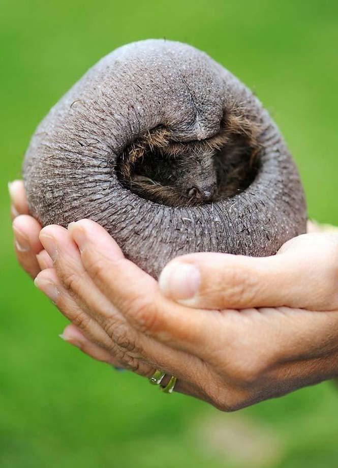 Ζώα που μοιάζουν αγνώριστα χωρίς το τρίχωμα τους (6)