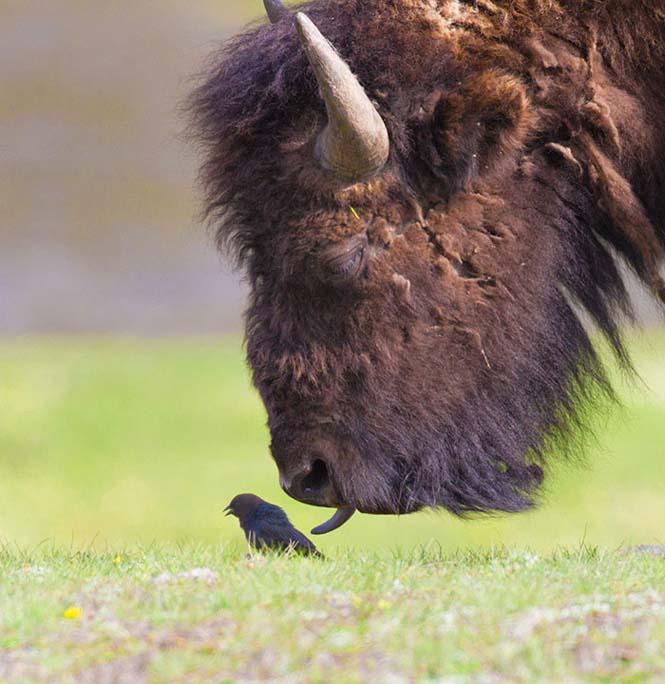 Ζώα βγάζουν γλώσσα (6)