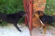 Δυο σκύλοι μαλώνουν μπροστά σε ανοιχτό φράχτη