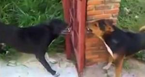Δυο σκύλοι μαλώνουν μπροστά σε ανοιχτό φράχτη (Video)