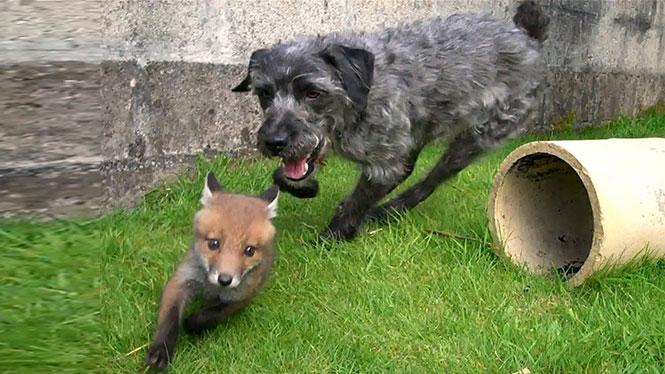 Η Αλεπού και το Κυνηγόσκυλο στην πραγματική ζωή