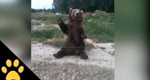Όταν οι αρκούδες φέρονται σαν άνθρωποι (Video)