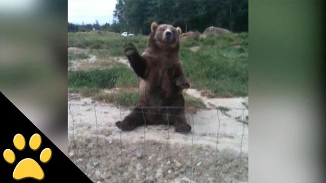 Αρκούδες που φέρονται σαν άνθρωποι