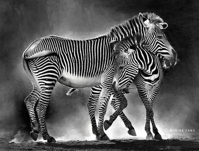 Εκπληκτικές φωτογραφίες της άγριας ζωής από την φωτογράφο Marina Cano (1)