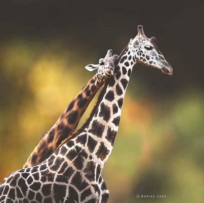 Εκπληκτικές φωτογραφίες της άγριας ζωής από την φωτογράφο Marina Cano (7)
