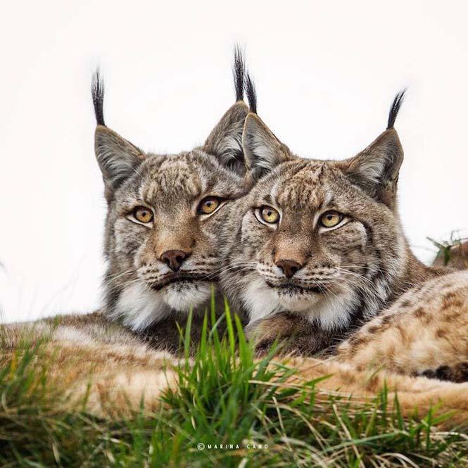 Εκπληκτικές φωτογραφίες της άγριας ζωής από την φωτογράφο Marina Cano (11)