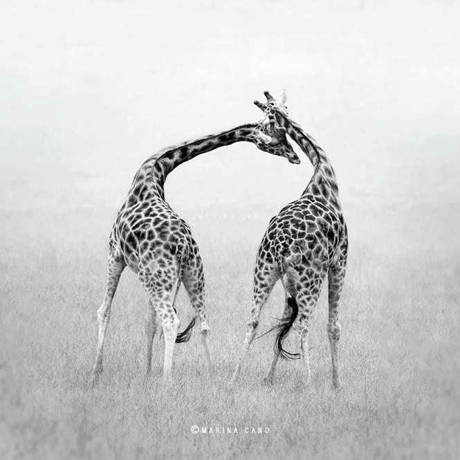 Εκπληκτικές φωτογραφίες της άγριας ζωής από την φωτογράφο Marina Cano (13)