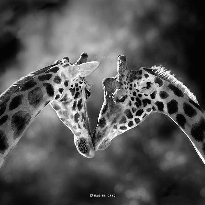 Εκπληκτικές φωτογραφίες της άγριας ζωής από την φωτογράφο Marina Cano (15)
