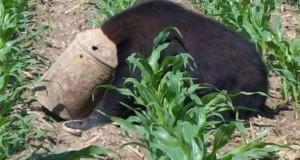 Ξυλοκόπος έσωσε τη ζωή μαύρης αρκούδας με μια τεράστια δαγκάνα (Video)