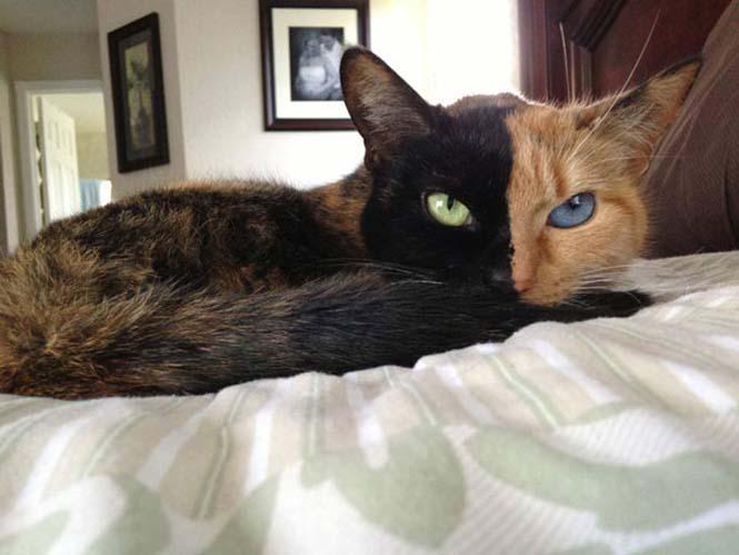Η γάτα με την πιο μοναδική εμφάνιση στον κόσμο (20)
