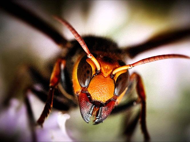 Γιγάντια ιαπωνική σφήκα εναντίον σκορπιού