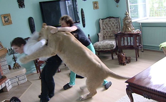 «Κατοικίδιο» λιοντάρι επιτίθεται σε καλεσμένο