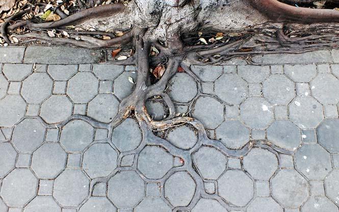 Ρίζες δένδρων που κέρδισαν την μάχη με το τσιμέντο (2)