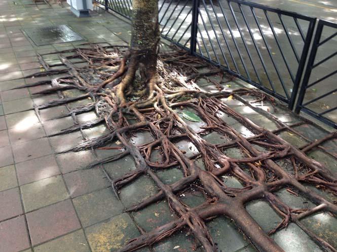 Ρίζες δένδρων που κέρδισαν την μάχη με το τσιμέντο (4)