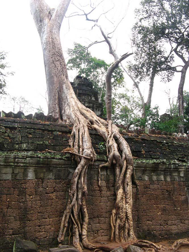 Ρίζες δένδρων που κέρδισαν την μάχη με το τσιμέντο (8)