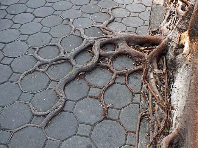 Ρίζες δένδρων που κέρδισαν την μάχη με το τσιμέντο (10)