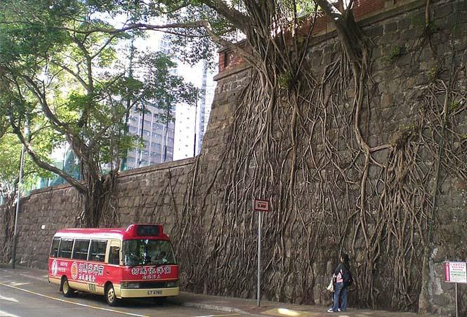 Ρίζες δένδρων που κέρδισαν την μάχη με το τσιμέντο (12)