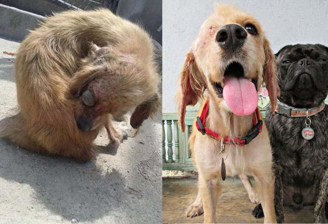 Σκύλοι πριν και μετά τη διάσωση τους (11)
