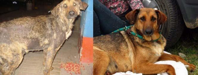 Σκύλοι πριν και μετά τη διάσωση τους (16)