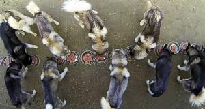 17 σκύλοι χάσκι προπονούνται για τον Χειμώνα (Video)