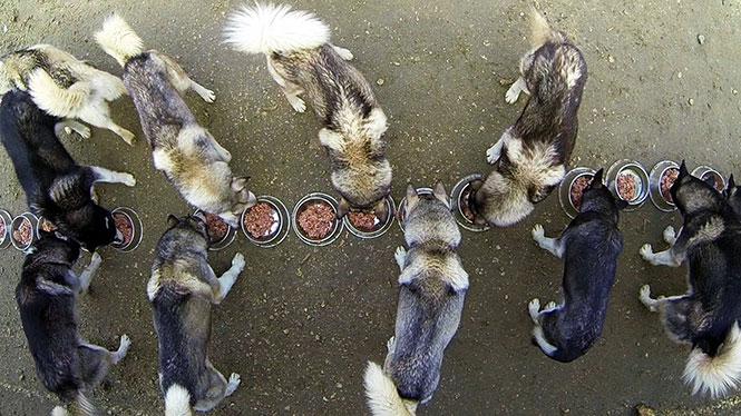 Σκύλοι χάσκι προπονούνται για τον Χειμώνα