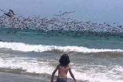 Αμέτρητοι πελεκάνοι βουτάνε σε παραλία