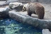 Αρκούδα σώζει κοράκι από πνιγμό