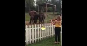 Ελέφαντες χορεύουν υπό τους ήχους βιολιού (Video)