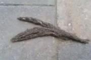 Φίδι από εκατοντάδες προνύμφες σκνίπας