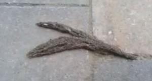 «Φίδι» από εκατοντάδες προνύμφες σκνίπας (Video)