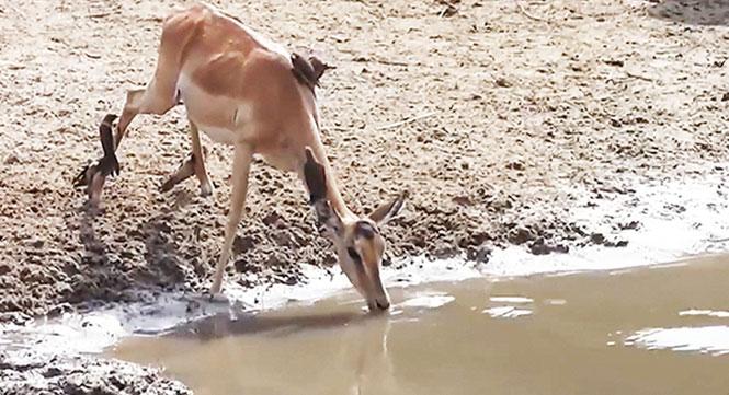 Ιμπάλα ξεφεύγει για χιλιοστά από αιφνιδιαστική επίθεση κροκόδειλου