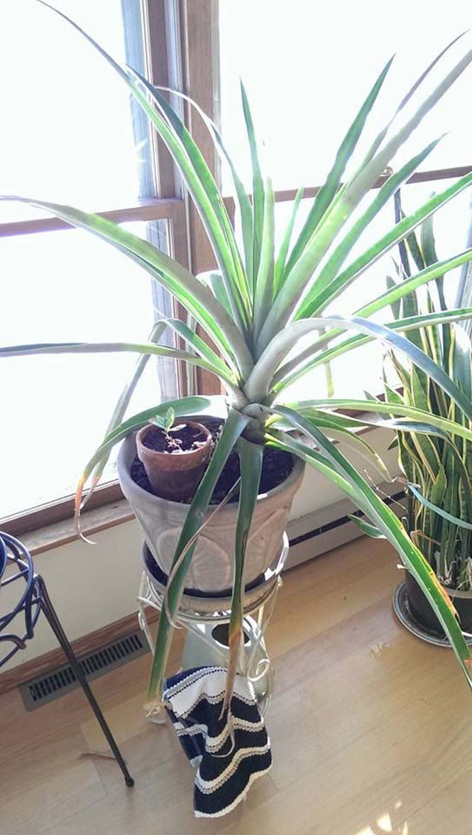 Καλλιεργώντας έναν ανανά μέσα στο σπίτι (1)