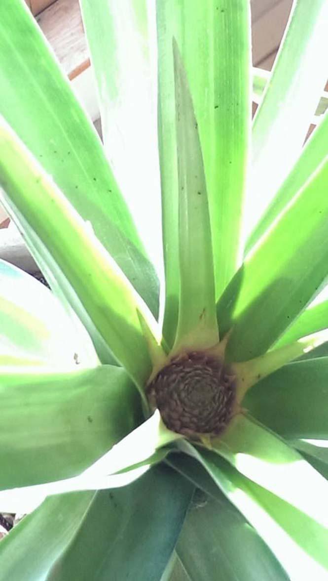 Καλλιεργώντας έναν ανανά μέσα στο σπίτι (2)